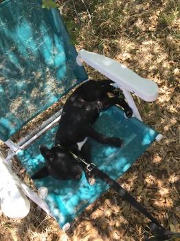 Loki puppy