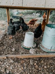 Chickens under coop